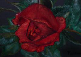 éclosion de rose