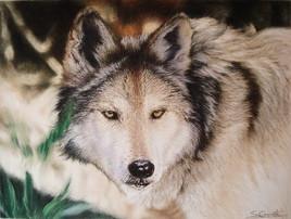 Loup gris du Mexique