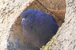 Pti pigeon