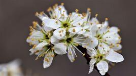 Fleurs d'aubépine 1
